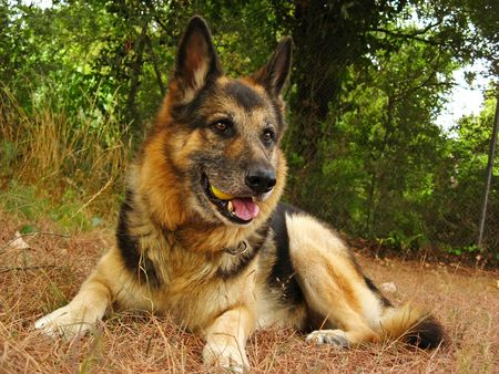 German sheperd portrait in the garden photo