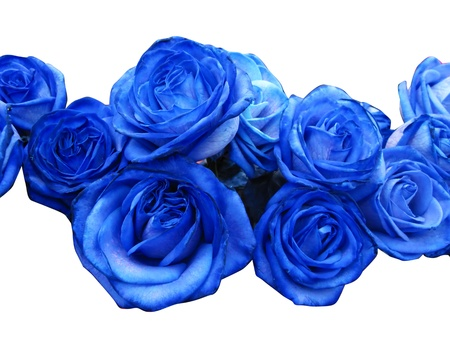 Blue roses isolated in white Stock Photo