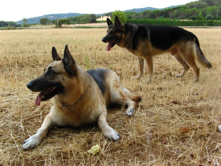 Two German sheperd dogs posing, attentive to the owner Stock Photo - 8541655