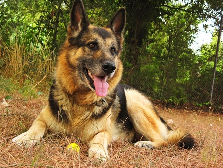German sheperd portrait in the garden Stock Photo - 8594981