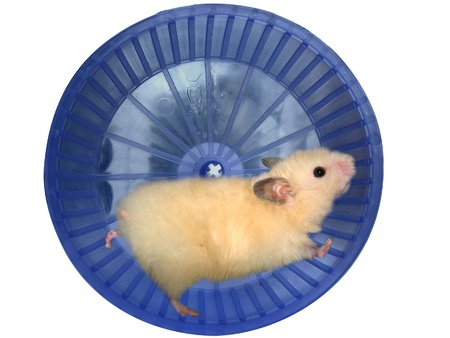Hamster in a wheel over white background photo