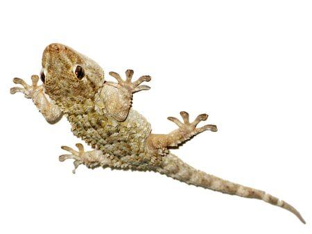 A close up gecko reptile climbing a wall