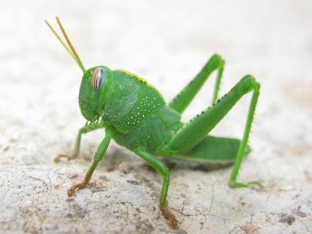 Green grasshopper in a macro shot photo