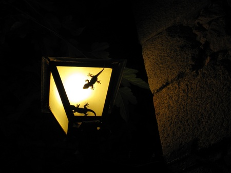 Two geckos in a lamp photo