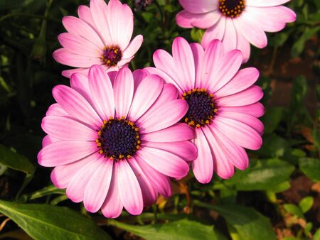 Purple and pink daisies close up background photo