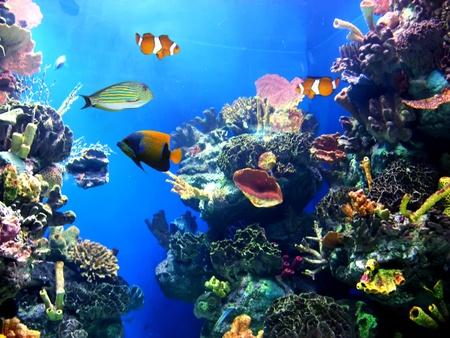 pez pecera: Acuario de colorido, mostrando diferentes peces coloridos nataci�n