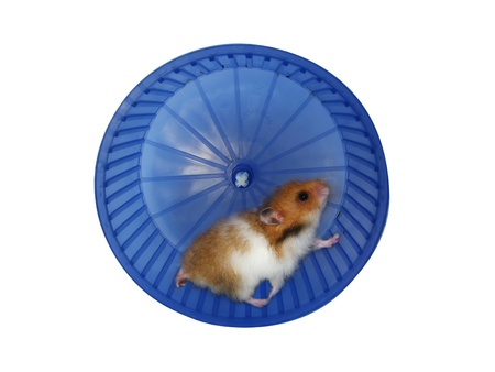 hamster: Hamster in a wheel over white background