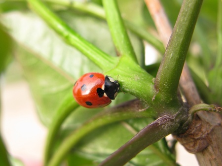 Red ladybug close-up over green leaves photo