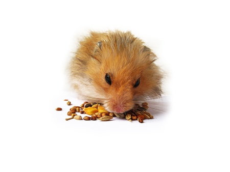 hamsters: Eating hamster close up