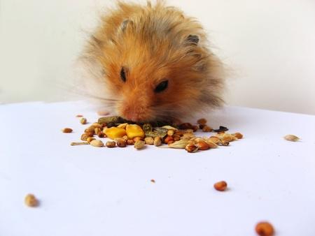 hamsters: Hamster eating Stock Photo