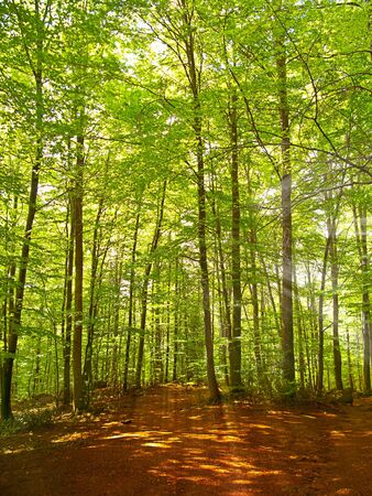 Green and wild nature, forest in Catalonia(Spain). Green tree at spring contrasting with brown leaves in ground