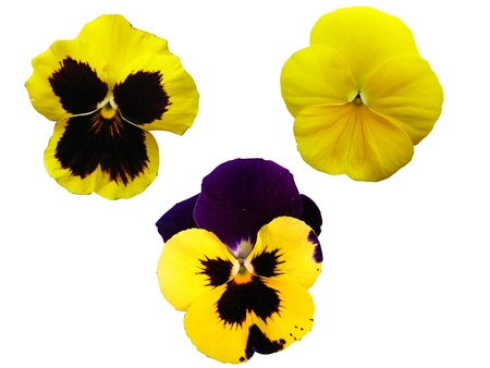 3 isolated pansies