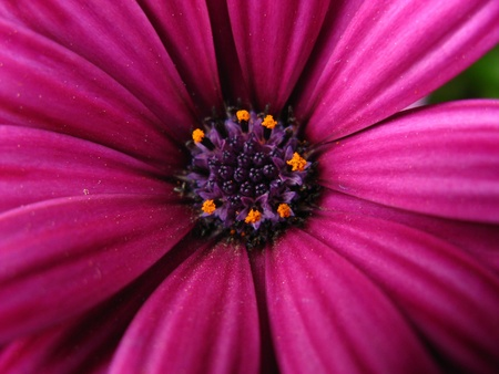 flowerhead: Purple daisy, close up at the spring time