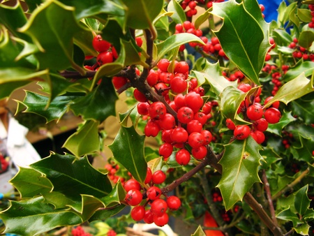 Christmas holly berries close up