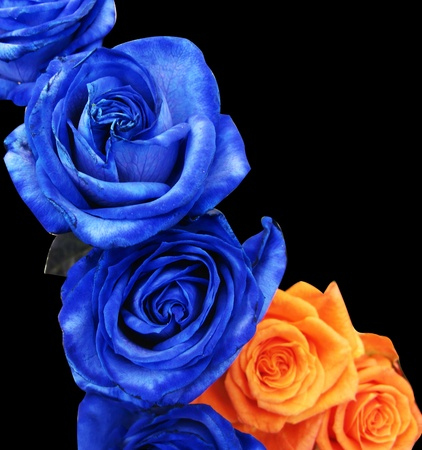 Blue and orange roses isolated in black photo