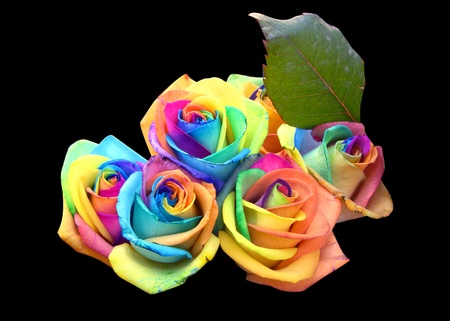 special occasions: A unique and very special rainbow roses, isolated in black