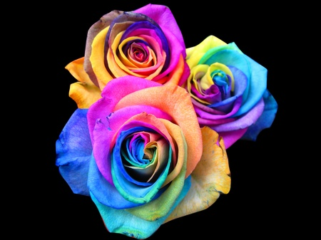 blue rose: A unique and very special rainbow roses, isolated in black