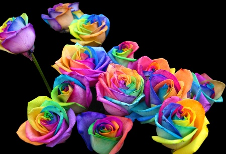 blue roses: A unique and very special rainbow roses, isolated in black