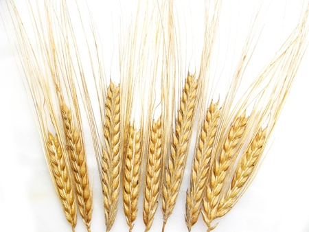 crop  stalks: Wheat stalks isolated in white background