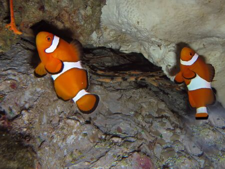 Two orange clown fishes close up photo