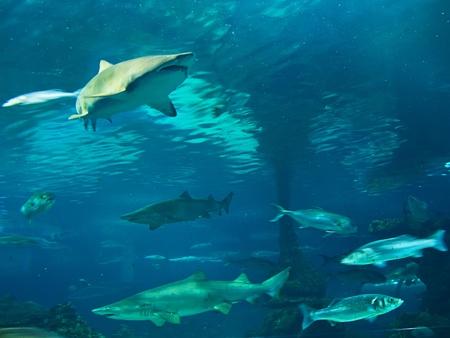 Some sharks swimming underwater photo