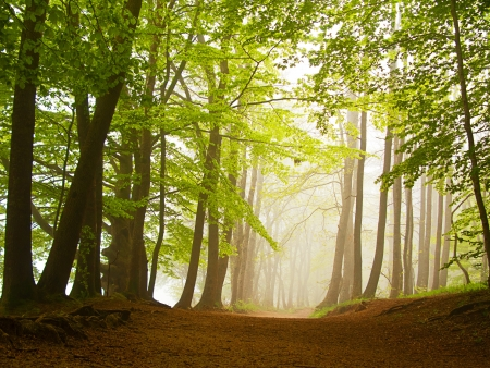 woodland scenery: A green forest in spring covered by fog in the morning