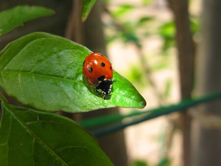 lady bug: Red ladybug close-up over green leaves
