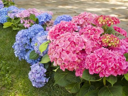 庭にアジサイ ピンクとブルーの花