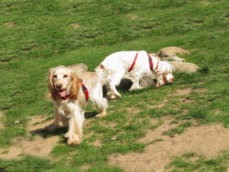 Two English Cocker Spaniel puppies playing at the garden photo