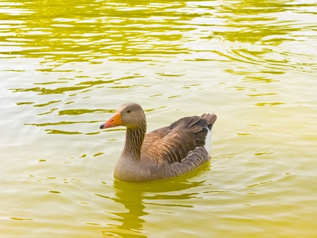 A duck swimming in the water photo