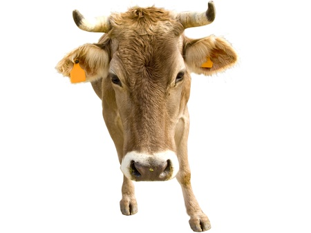 Cow close up portrait, isolated in white background Stock Photo