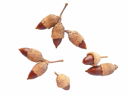 Different acorns (double and single) isolated in white Stock Photo - 11864245