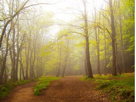 A green forest in spring covered by fog in the morning photo