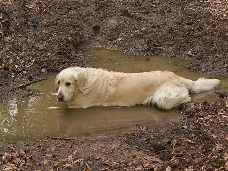 Dirty golden retriever dog playing in the mud
