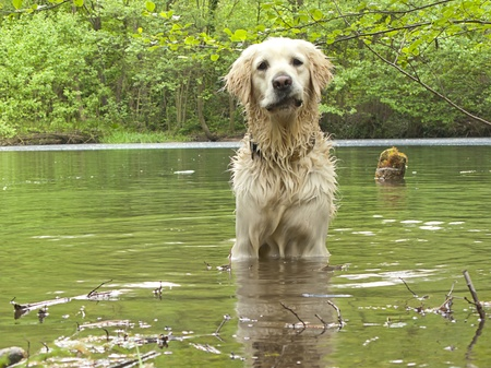 Golden retriever in the water with a funny face