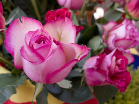 long stem roses: Pink and white rose opening. Close-up on its petals