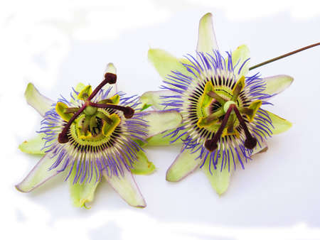Passion flowers in a close up, isolated in white photo