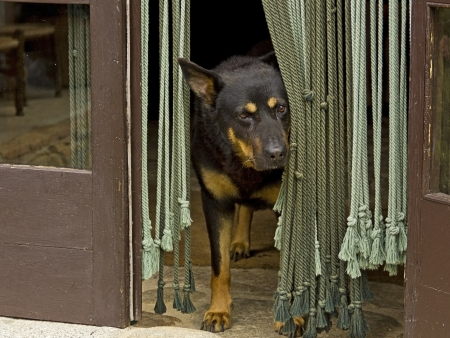 German shepherd dog looking outside, in the door photo