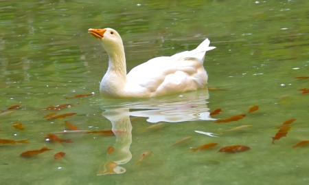 White goose swimming in a lake, and some orange fishes around her photo