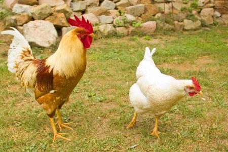 farmyard: Closeup of a hen in a farmyard (Gallus gallus domesticus)