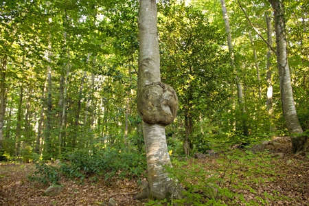 knotting: A tree with a natural wart