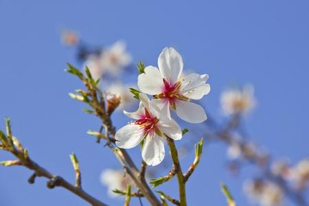 White cherry tree detail at spring Stock Photo - 16605246