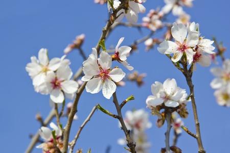 White cherry tree detail at spring Stock Photo - 16641856