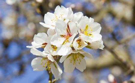 White cherry tree detail at spring Stock Photo - 17122839