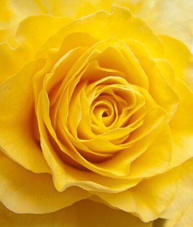 rosas amarillas: Rosa amarilla, en un plano corto