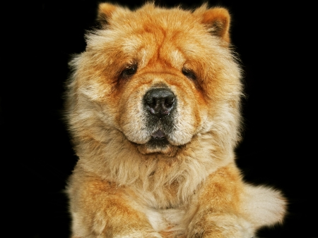 Chow chow dog, close up in black background photo