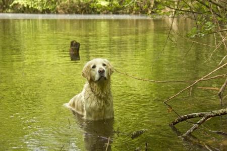 longhaired: Golden retriever dog playing in the water Stock Photo