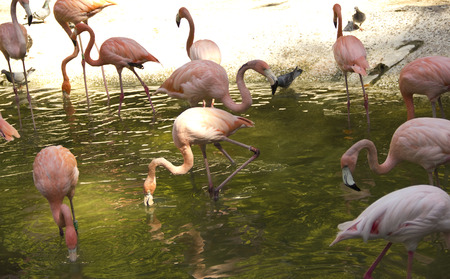 Pink flamingos swimming and resting in a lake photo