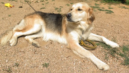 mongrel: Mongrel dog (half golden retriever half german shepherd)