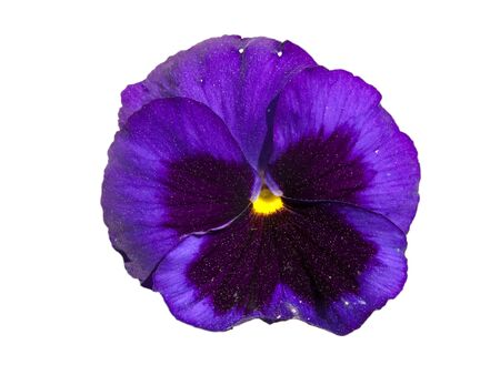 pansies: Pansy flower isolated in white background